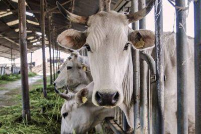 The Chianina cattle: the white giant of the Valdichiana Senese
